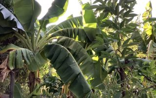 Banana Food Forest